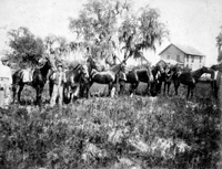 Some of the Lisly's horses in their backyard at 407 East Street, Fort Brooke.
