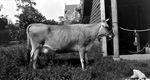 Cow tethered to post outside building on University of Florida campus