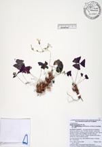 213587a1  Oxalis triangularis ssp. papilionacea