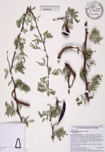 214685a1 Acacia pinetorum