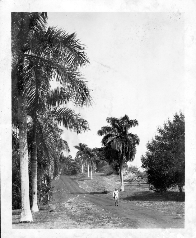 One of the drives in the gardens bordered with Roystonea oleracea (Cabbage palm) and R. regia (Royal palm)