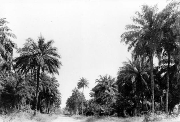 Photo: Palm trees bordering a rural road.