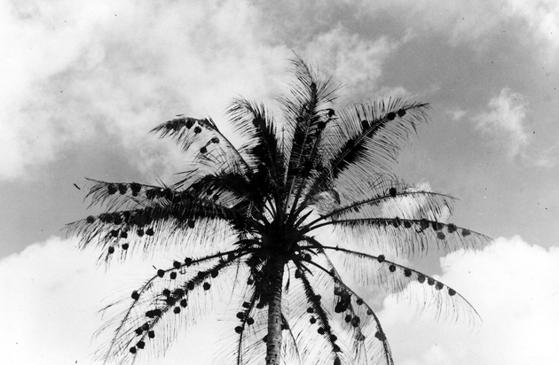 Photo: Top of a palm tree against the sky (showing rows of many bird nests on the fronds?).