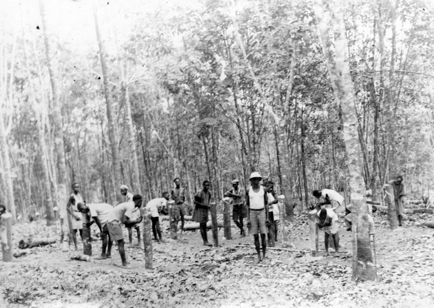 Photo: Rubber tapping, or possibly tapper training. Tappers appear to be practicing on the stumps of thinned trees.