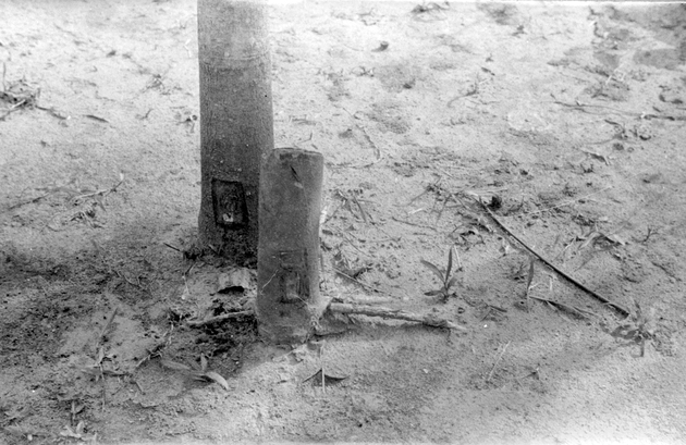 Photo: Rubber tree and tree stump with cuts in bark (possibly the result of test tapping and thinning or an example of a training tool for tappers?).