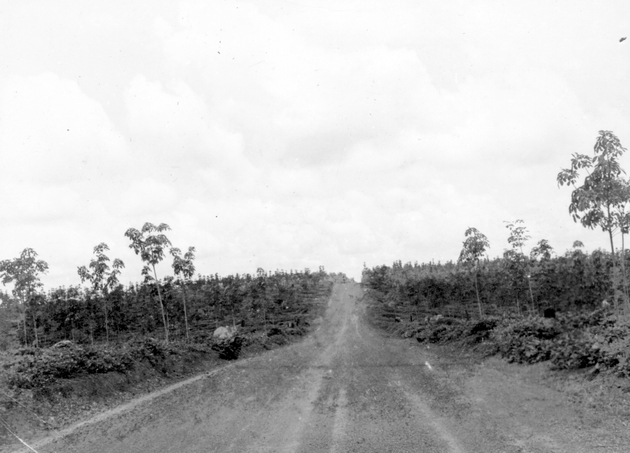 Photo: Dirt road through new plantations of rubber saplings.