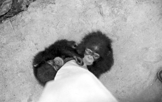 Photo: Two young chimpanzees hugging photographer's pant leg.