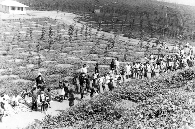 Photo: Large group of Liberian plantation workers with rubber saplings behind them.
