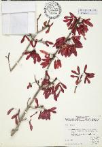 Acer rubrum  (University of Florida Herbarium Specimen : FLAS 148606 )