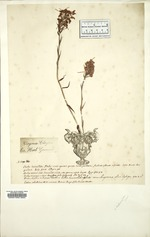 Platanthera from the British Museum of Natural History