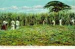 Harvesting sugar cane : Recogiendo cana, Cuba.