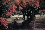 View of a flower garden from under a bougainvillea plant