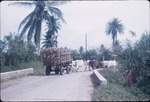 An ox cart hauling sugarcane on a rural road in Jamaica