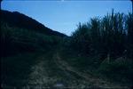 Dirt path through a Jamaican sugarcane field