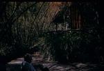 A man sitting with a book under bamboo trees near the Blue Mountain Inn in Gordon Town, Saint Andrews, Jamaica