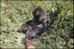 Bob Campbell photograph of a young gorilla extending hand out to contact photographer's boot, Rwanda 1969