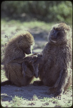 Bob Campbell photograph of olive baboons, 1979