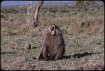 Bob Campbell photograph of male baboon, 1979