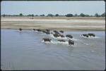 Bob Campbell photograph of hippos running from river, Luangwa Valley, 1977