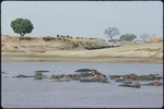 Bob Campbell photograph of buffalo and hippo at river, Luangwa Valley, 1977
