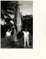 Photo of 1006 lb. Black Marlin Caught in 1949
