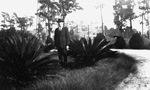 A man stands by two Sago Palms - University Auditorium in background