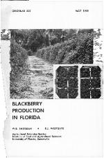 Blackberry production in Florida