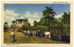 Habana: Pesando Cana.  Weighing Sugar Cane.  9B H223.  (Verso: 57.  C. Jordi, Havana, Cuba.  Made in U.S.A.)